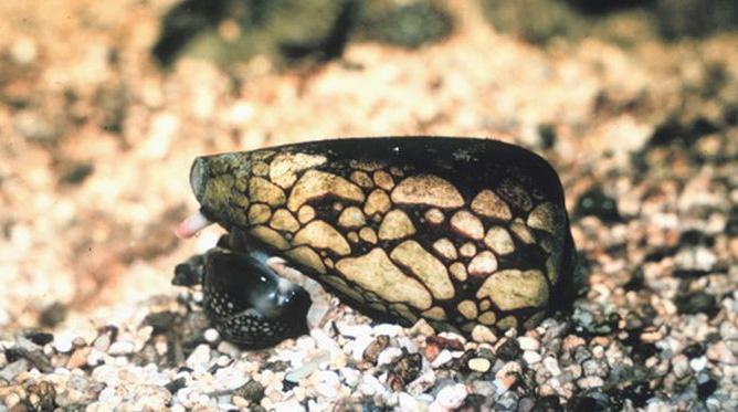 lumaca dal guscio conico marmoreo veleno velenoso