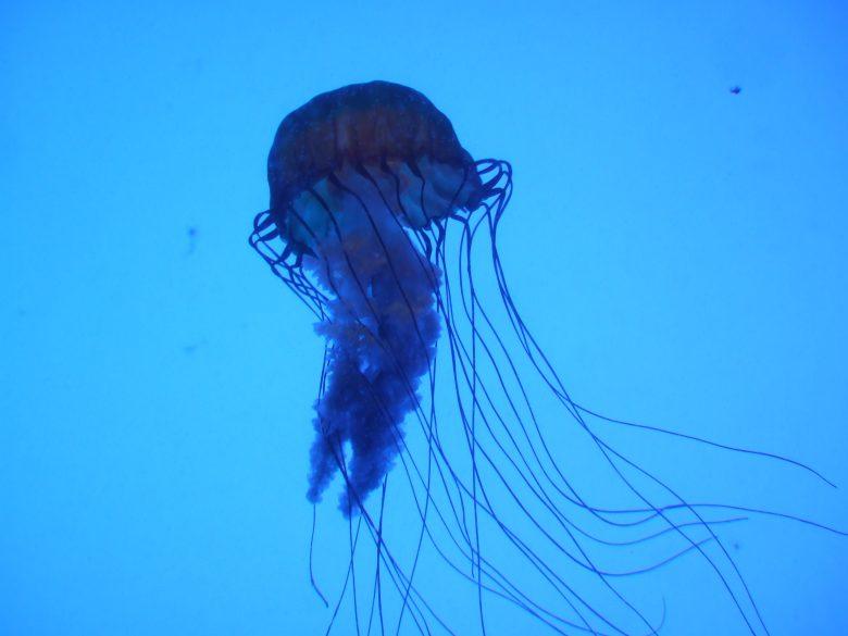 cubo medusa vespa di mare velenosa mortale