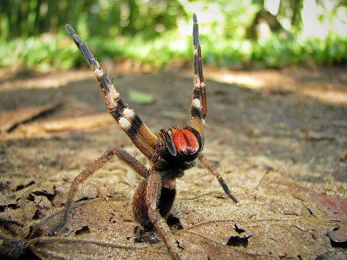 ragno brasiliano viagra brasile
