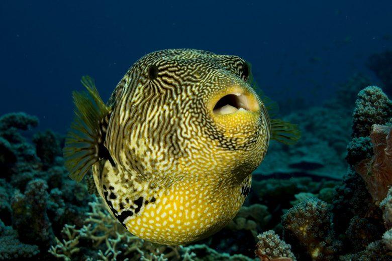 pesce palla veleno animale velenoso