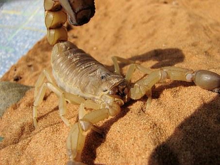 velenoso mortale scorpione israeliano