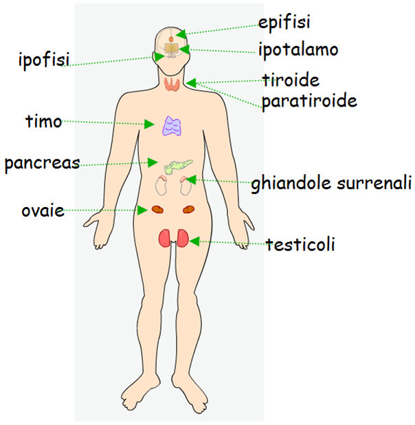 which of the endocrine glands secrete steroid hormones