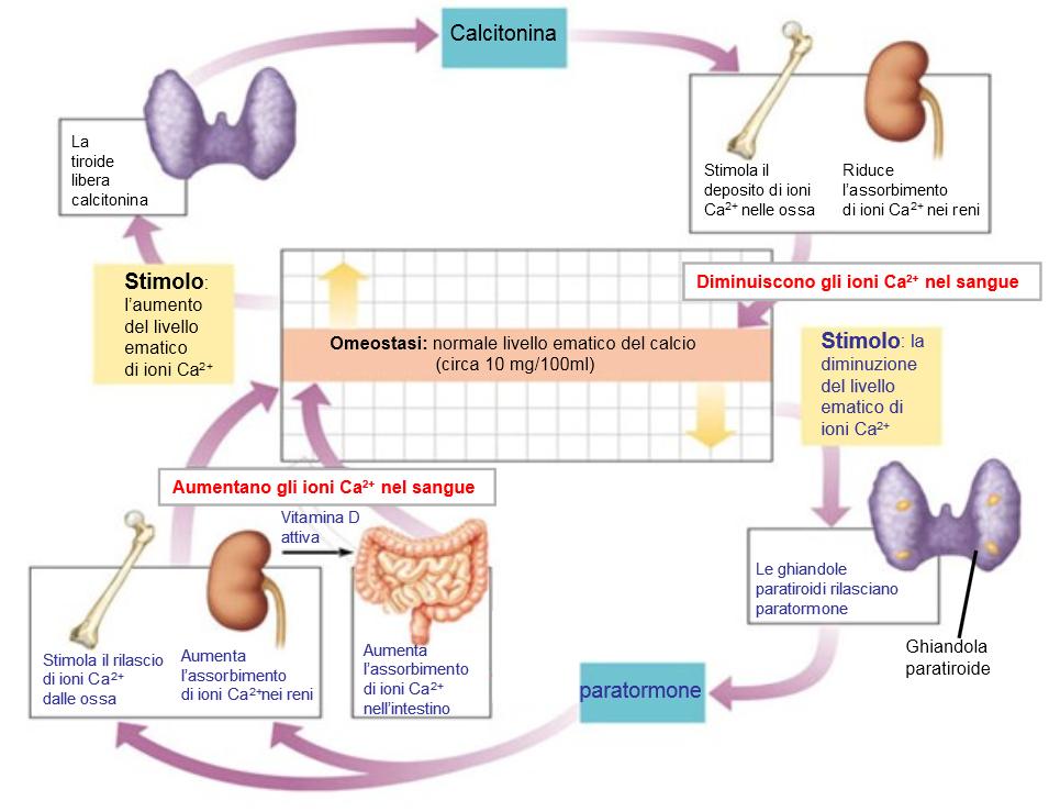 Omeostasi della calcemia