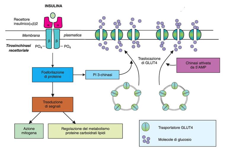 secrezione insulina