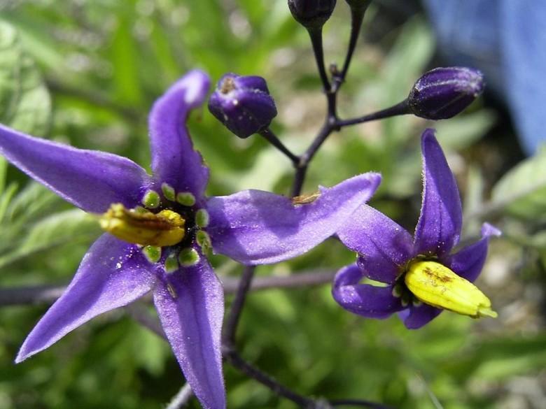 1024px-SolanumDulcamara-bloem-sm