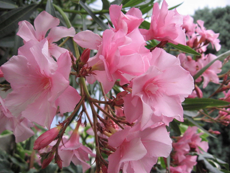 """Flowers of Nerium oleander"" by Remulazz at Italian Wikipedia - Transferred from it.wikipedia to Commons.. Licensed under Public Domain via Wikimedia Commons - https://commons.wikimedia.org/wiki/File:Flowers_of_Nerium_oleander.jpg#/media/File:Flowers_of_Nerium_oleander.jpg"