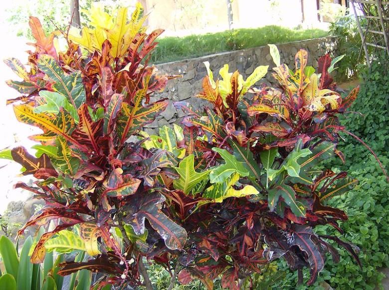 800px-Croton_(Codiaeum_variegatum)