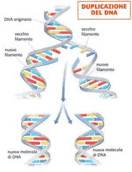 Duplicazione del DNA. FONTE: Diamante di Gould