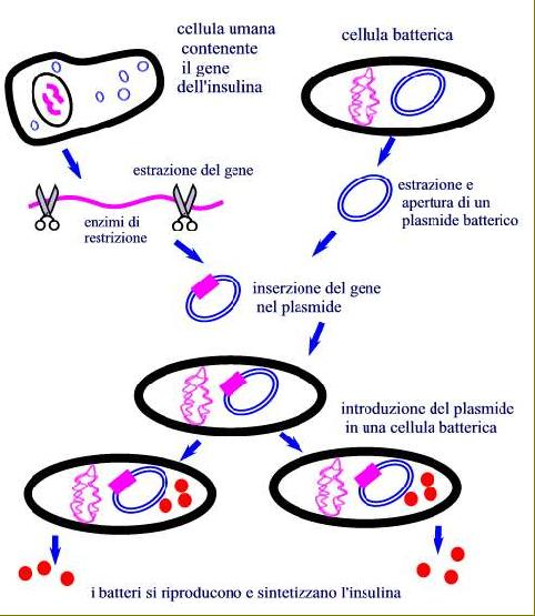 produzione di insulina umana grazie alla tecnica del DNA ricombinante. FONTE: Mateliber