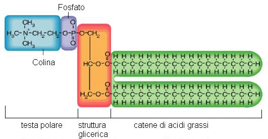 fosfolipide2