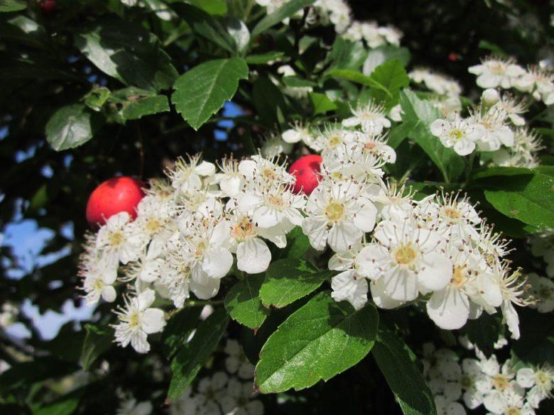 crataegus- biancospino