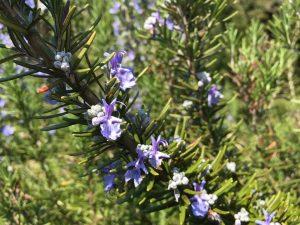rosmarino proprietà fiori spezia