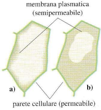 Struttura delle cellule vegetali bald mountain science - Gemelli diversi foggia ...