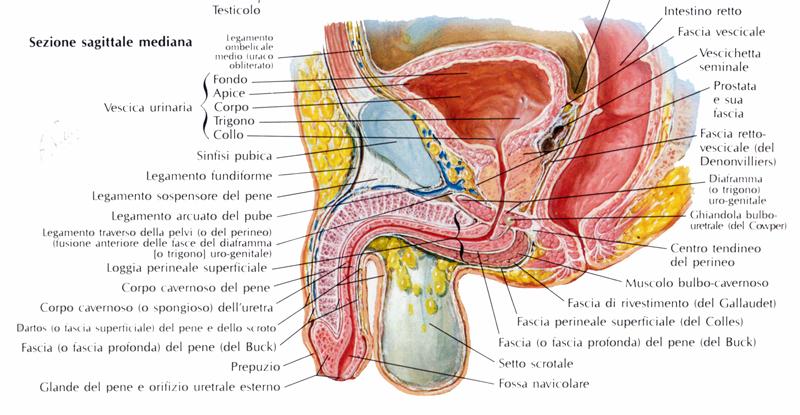 legamento della sospensione del pene